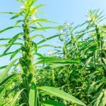 Sezam  oraz historia sezamu - od oleju do przekąski