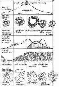 rozmazy cytologiczne, a sytuacja hormonalna ustroju